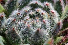 Plantas suculentos com fluff foto de stock