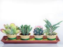 Plantas suculentos do cacto em uma embarcação retangular Foto de Stock Royalty Free