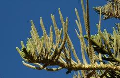 Plantas suculentos, Egito Imagem de Stock