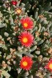 Plantas suculentos, Egito Foto de Stock Royalty Free