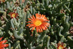 Plantas suculentos, Egito Fotografia de Stock Royalty Free