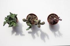 Plantas suculentos em um fundo branco Fotos de Stock Royalty Free
