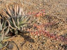 Plantas suculentos no deserto de Namíbia central Fotos de Stock Royalty Free