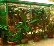Plantas tropicais do potenciômetro no orangerie asiático Fotografia de Stock
