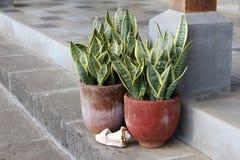 Plantas tropicales en un pote de cerámica - lengua del ` s de la suegra foto de archivo
