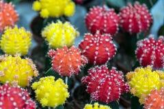 Plantas tropicales verdes en conserva de la casa en potes Cactus, succulents Imagenes de archivo