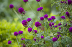 plantas tropicales violetas Foto de archivo