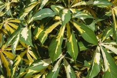 Plantas Variegated decorativas da mandioca imagens de stock royalty free