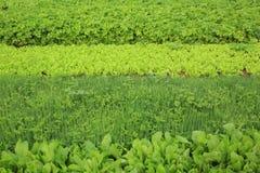 Plantas vegetais da variedade no crescimento Fotos de Stock Royalty Free