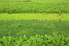 Plantas vegetais da variedade no crescimento Imagem de Stock Royalty Free