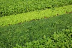 Plantas vegetais da variedade no crescimento Imagens de Stock Royalty Free