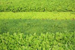 Plantas vegetais da variedade no crescimento Imagens de Stock