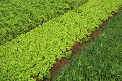 Plantas vegetais da variedade no crescimento Foto de Stock Royalty Free