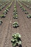 Plantas vegetales de la calabaza en un campo de granja Foto de archivo libre de regalías