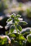 Plantas verdes cubiertas por la escarcha Foto de archivo libre de regalías