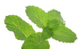 Plantas verdes da folha da hortelã isoladas no fundo branco Imagem de Stock