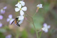 Plantas verdes da mostarda com suas flores Imagens de Stock