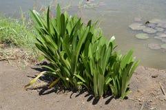 Plantas verdes de Hymenocallis en jardín de la naturaleza foto de archivo libre de regalías