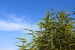 Plantas verdes de lámina Fotos de archivo