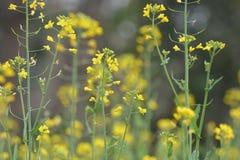 Plantas verdes de la mostaza con owers del theirFl Imagen de archivo