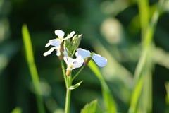 Plantas verdes de la mostaza con sus flores Fotografía de archivo libre de regalías