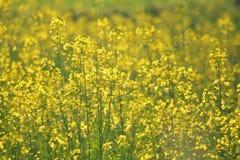 Plantas verdes de la mostaza con sus flores Fotografía de archivo