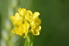 Plantas verdes de la mostaza con sus flores amarillas Fotografía de archivo