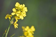 Plantas verdes de Mustrad con sus flores Foto de archivo
