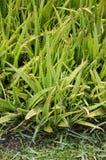 plantas verdes de Vera del áloe en jardín de la naturaleza Foto de archivo libre de regalías