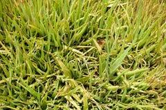 plantas verdes de Vera del áloe en jardín de la naturaleza Imagen de archivo libre de regalías