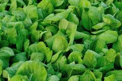 Plantas verdes do choysum no crescimento Imagem de Stock Royalty Free