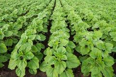 Plantas verdes do girassol Imagem de Stock