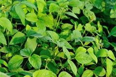 Plantas verdes do grão de soja no crescimento Imagem de Stock