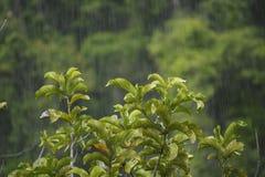Plantas verdes e chuveiro pesado tropical na floresta úmida Foto de Stock Royalty Free