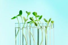 Plantas verdes en fila de tubos de ensayo con agua Fotos de archivo libres de regalías