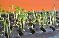 Plantas verdes entre chaves pretas em um teclado de computador Fotos de Stock Royalty Free