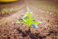 Plantas verdes frescas em um campo da agricultura imagem de stock royalty free