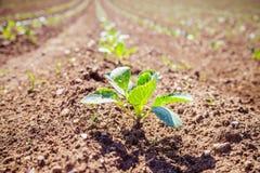 Plantas verdes frescas em um campo da agricultura fotografia de stock