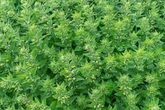 Plantas verdes Fundo da planta verde imagem de stock