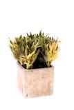 Plantas verdes internas Imagens de Stock