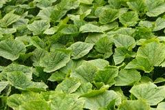 Plantas verdes jovenes del pepino Imagen de archivo libre de regalías