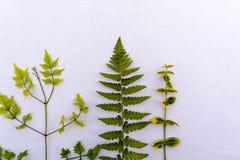 Plantas verdes no backround branco Fotografia de Stock Royalty Free