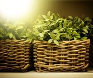 Plantas verdes no close up da cesta Fotografia de Stock Royalty Free