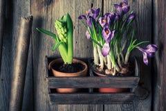 Plantas verdes novas em uma oficina de madeira velha Foto de Stock Royalty Free