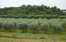 Plantas verdes olivas Fotografía de archivo
