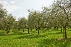 Plantas verdes olivas Foto de archivo libre de regalías