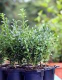 Plantas verdes pequenas do arbusto da caixa Fotografia de Stock
