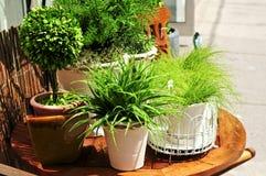 Plantas verdes Potted fotografia de stock