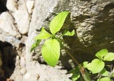 Plantas verdes que crecen de las piedras Fotos de archivo libres de regalías