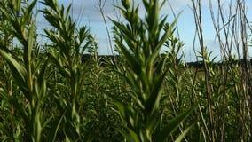 Plantas verdes que se mueven en el viento almacen de metraje de vídeo